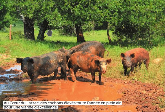 cochons-herault-2016